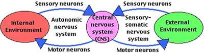 nervous system graph